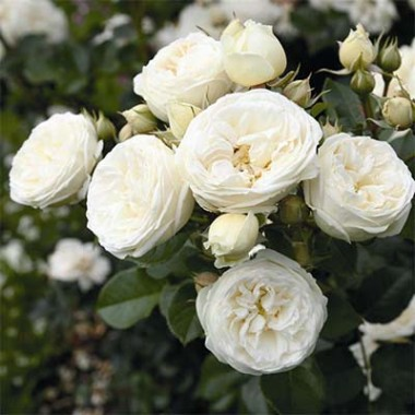Розы Тантау купить