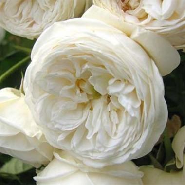 Роза Artemis описание