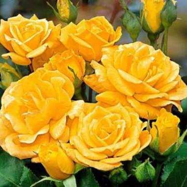 Роза Arthur Bell описание