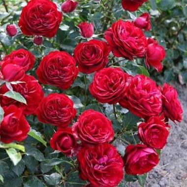 Роза Balmoral смотреть