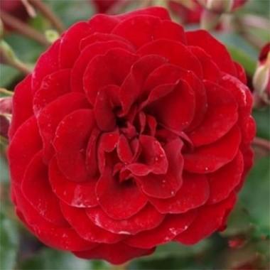 Роза Balmoral фото цена