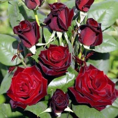 Роза Barkarole почтой