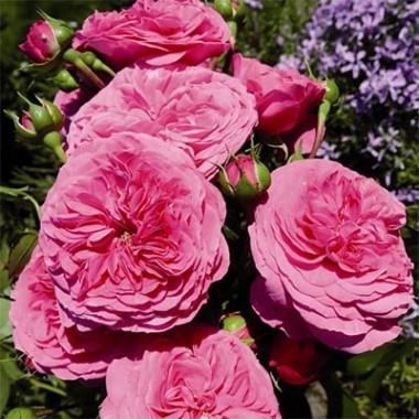 Роза Baroness описание