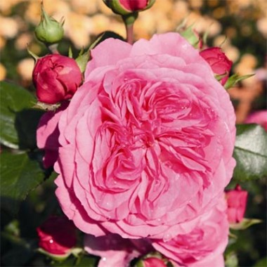 Роза Baroness фото