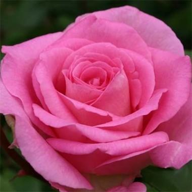 Роза Beverly описание