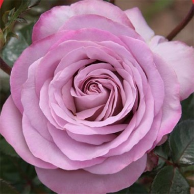 Роза Blue Girl купить онлайн