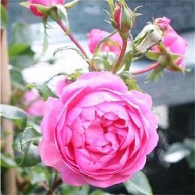 Роза Boogie-Woogie описание