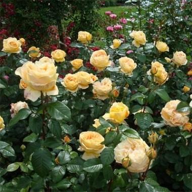 Роза Candlelight описание
