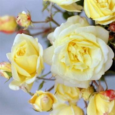 Роза Casino купить онлайн