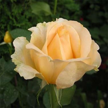 Роза Casanova в киеве