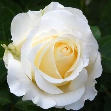 Роза Chopin в киеве