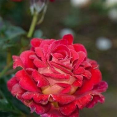 Роза Copacabana фото цена