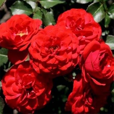 Роза Cordula почтой
