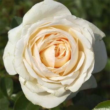 Роза Cream Abundance смотреть