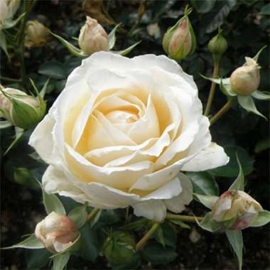 Роза Cream Abundance почтой