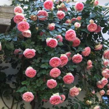 Роза Eden Rose описание
