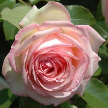 Роза Eden Rose смотреть