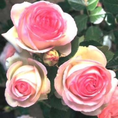 Роза Eden Rose фото цена
