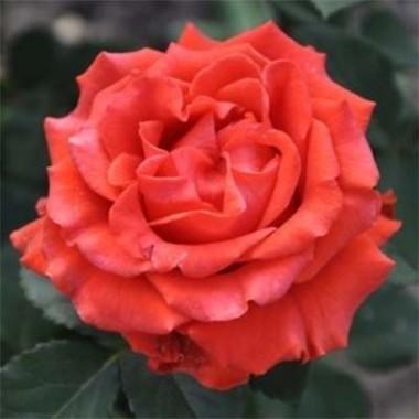 Роза El Toro описание