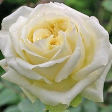 Роза Elfe  смотреть