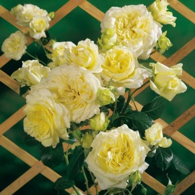 Роза Elfe  почтой