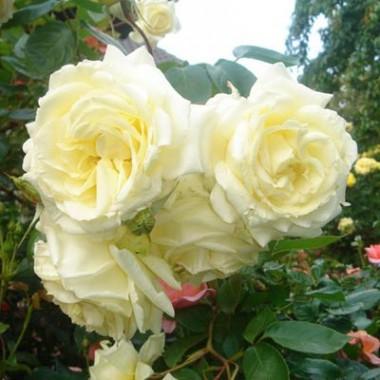 Роза Elfe  описание