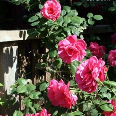 Роза Etude описание