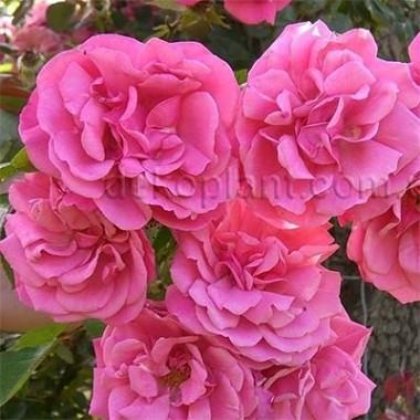 Роза Etude смотреть