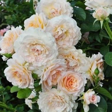 Роза Excalibur описание
