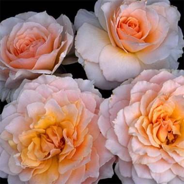 Роза Excalibur фото