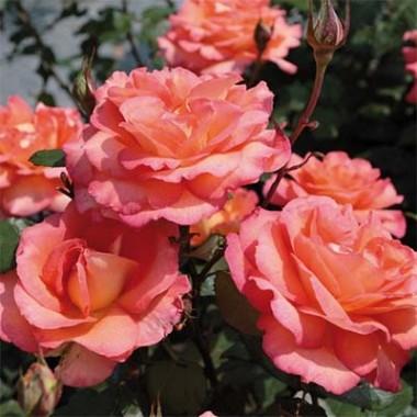Роза Fairest Cape купить онлайн