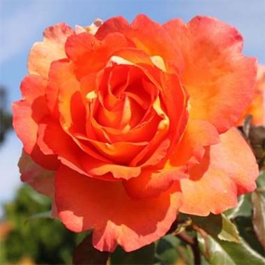 Роза Fairest Cape почтой