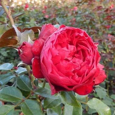 Роза Florentina купить онлайн