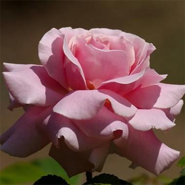 Роза Frederic Mistral почтой