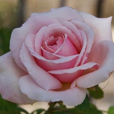 Роза Frederic Mistral купить онлайн