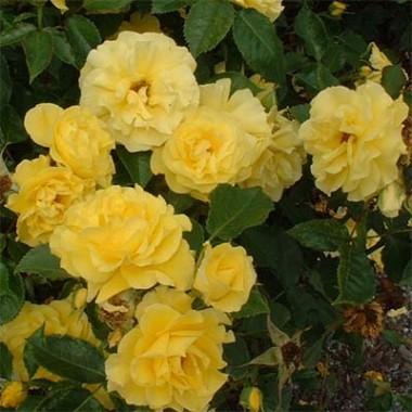 Роза Friesia смотреть