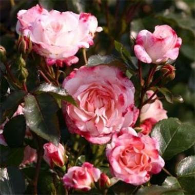 Роза Rosenstadt Freising описание