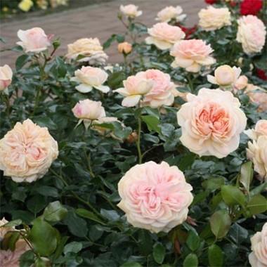Роза Garden of Roses купить онлайн