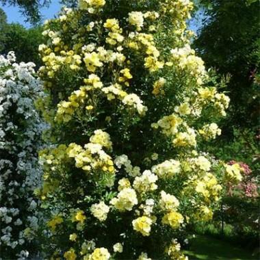 Роза Golden Age почтой