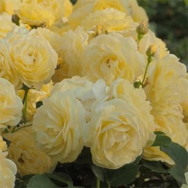 Роза Golden Border описание