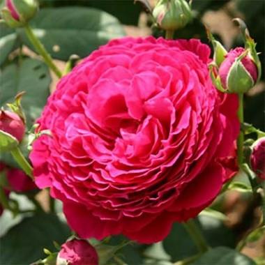 Роза Gospel описание