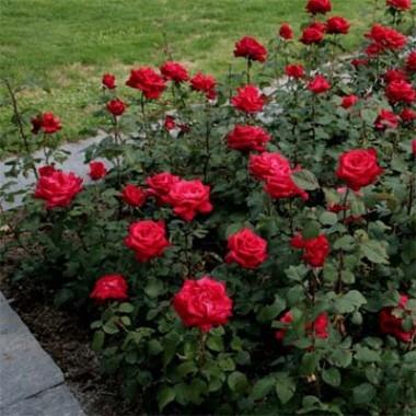 Роза Grande Amore интернет-магазин