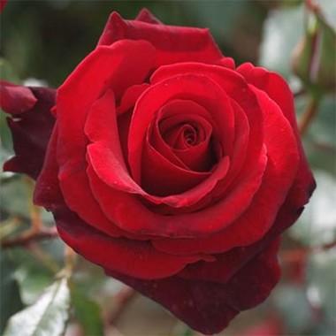 Роза Grande Amore смотреть