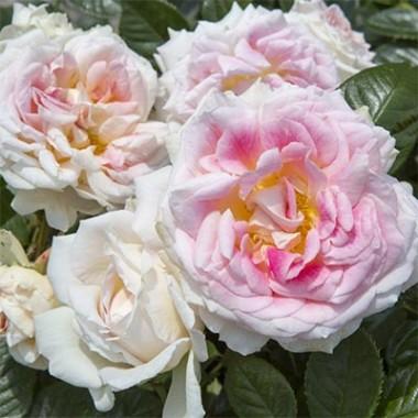 Роза Guernsey смотреть