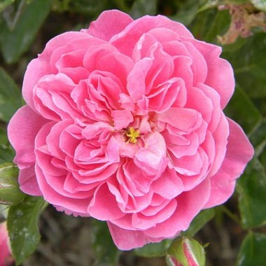 Роза Harlow Carr описание