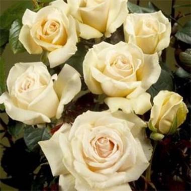 Роза Helena Renaissance смотреть