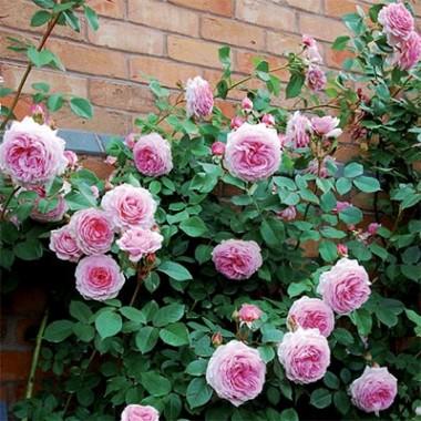 Роза James Galway (плетистая) в киеве