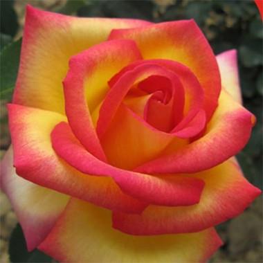 Роза Jean Piat интернет-магазин