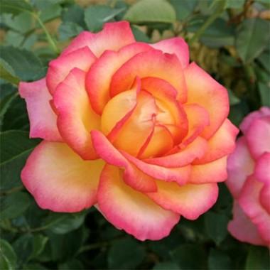 Роза Jean Piat купить онлайн