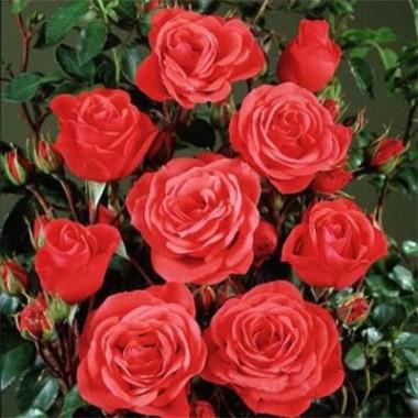 Роза Jive почтой